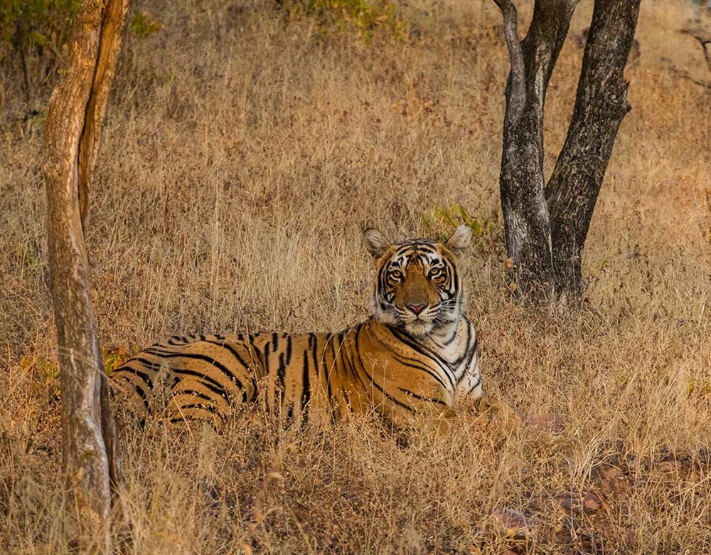 Tigers in Ranthambore National Park, India